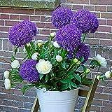 15 Piezas Bulbos De Allium Púrpuras Flor Perenne Sin OMG Para Decoración Interior Al Aire Libre Jardín Granja Plantación Floración De Primavera