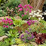 Mixed Rockery Alpine Collection - Colourful Outdoor Potted Perennial Plant Mix (6 Plants)
