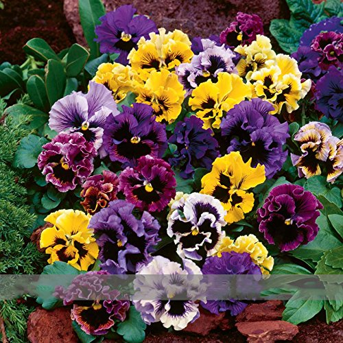 (mixte * Ambizu *) Viola wittrockiana mixtes Pansy 'Frizzle Sizzle' Hardy vivace Graines de fleurs, emballage d'origine, 30 graines