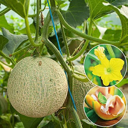 Soteer Garten - 50 Stück Mini-Honig Melone Samen Cantaloupe Melon Zuckermelone Melonesamen aromantisch Frucht Saatgut mehrjährig winterhart