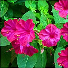 1//16 POUND of  FOUR O/'CLOCK FLOWER SEEDS  MULTI-COLORS