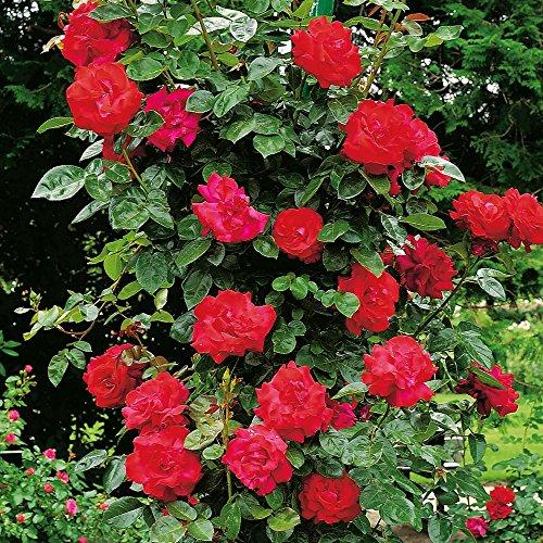 Kletterrose Santana in Rot - Kletter-Rose winterhart & duftend - Pflanze für Rankhilfe wurzelnackt/Wurzelware von Garten Schlüter - Pflanzen in Top Qualität