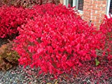Burning Bush Euonymus, 1 GAL