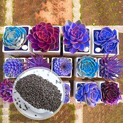 C-LARSS 200 Pezzi/Borsa Semi Di Bonsai Viola, Piante Grasse Di Colore Misto A Germinazione Rapida Non OGM In Vaso Per Giardino Semi succulenti