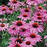 Pack x6 Echinacea 'Purpurea' Primadonna Deep Rose Perennial Plug Plants