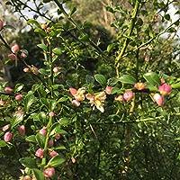 フィンガーライムの苗木 グリーン 12cmロングポット 3年生接木苗 樹高:約80~100cm 1本売り【果樹 3年生接木苗/即出荷】フィンガーライムはオーストラリア原産の柑橘類で、 長さ4~8cmの円筒形、重さは10~20g、ライムのような酸味があり粒状の果肉とその食感から「キャビア・ライム」とも呼ばれています。オーストラリアやアメリカでは「フルーツキャビア」の愛称でも呼ばれている高級食材ですが供給が追いついていません。日本ではまだあまり知られていない柑橘果樹です!!【自社農場から新鮮苗直送!!】【即出荷】