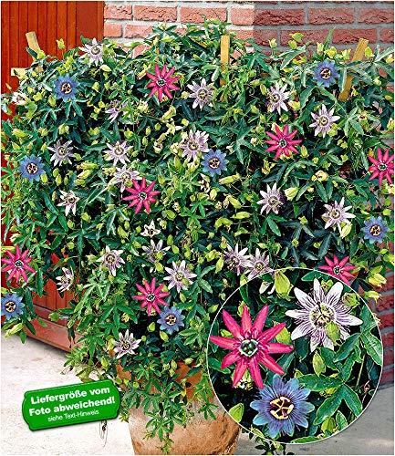 BALDUR Garten Passionsblumen-Trio Exotic Flowers Passiflora, 1 Pflanze mit 3 Farben Kübelpflanze Kletterpflanze