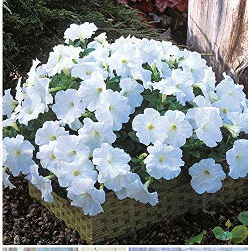 100 pcs/sac à double pétales graines de pétunia graines de fleurs bonsaï fleurs court jardin hauteur des graines de pot de plante d'intérieur ou ourdoor 11