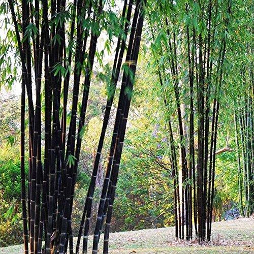 Loveble 100 Pcs Rare Bambou Graines de Jardin Décoration Herbe Planter Bambu Arbre Graines