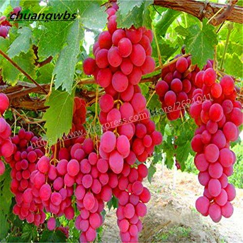 Vente chaude 50pcs / sac rares espèces de raisin Graines géant raisins rouges Bonsai Fruit Graines bricolage jardin Plante en pot d'arbres fruitiers