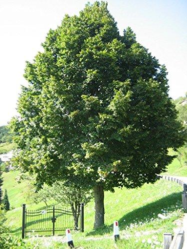 5 Samen von Tilia Platyphyllos Lindenbaum
