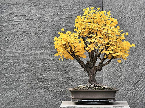 Bonsai Ginko Biloba Tree Seeds to Plant - 5 Seeds - Edible Leaves Promote Memory and Vigor - Gingko Seeds