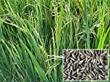 Authentic Organic Seeds & Very Good Germination Rate As mentioned in Ayurveda Navara Rice can help cure many diseases. Germination takes 3-4 days depending on climate. Has low Glycemic Index and help lower sugar levels for diabetic patients.