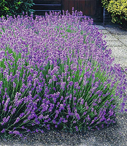 BALDUR-Garten Blauer Lavendel Lavandula, 3 Pflanzen