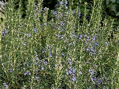 """Clovers Garden Upright Rosemary Plant– Two (2) Live Plants – Non-GMO - Not Seeds –Each 4"""" to 7"""" Tall- in 3.5 Inch Pots"""