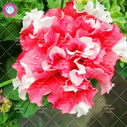 100pcs / Sac Hanging pétales de double Petunia Graines Bonsaï Graines de fleurs à court d'intérieur Plante en pot pour jardin 3