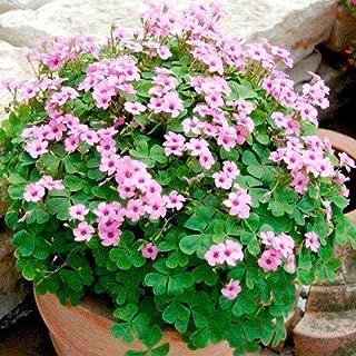 Nianyan 30 Pink Pillow Shamrock Plant - Indoors/Out - Oxalis articulata