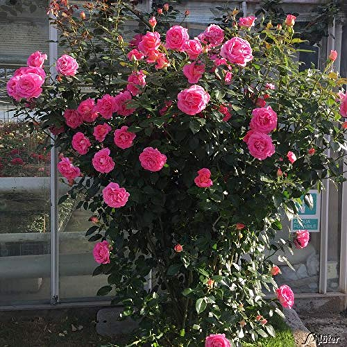 Kletterrose Parfum Royal Climbing in Pink - Kletter-Rose sehr stark duftend - Pflanze für Rankhilfe im 5 Liter Container von Garten Schlüter - Pflanzen in Top Qualität