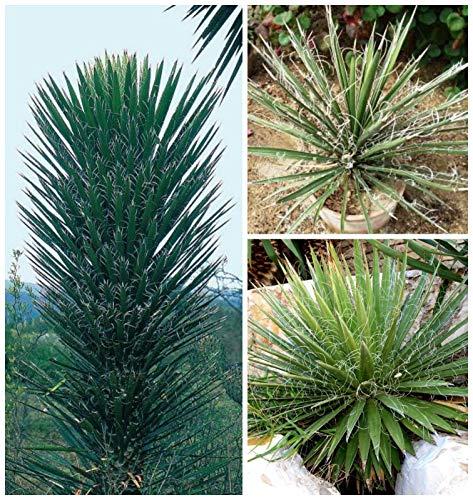 Portal Cool 10 Samen der Yucca Filifera, Sukkulenten, Kakteen, Sukkulenten Seed C