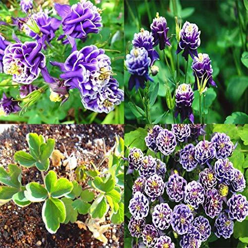Tomasa Gartensamen- 50 stücke Akelei Samen Blumensamen Saatgut winterhart mehrjährig Schnittblume Lila bonsai exotische samen Akelei Blumen