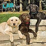 Labrador Retriever Puppies - Labradorwelpen 2020 - 16-Monatskalender mit freier DogDays-App: Original BrownTrout-Kalender [Mehrsprachig] [Kalender] (Wall-Kalender)