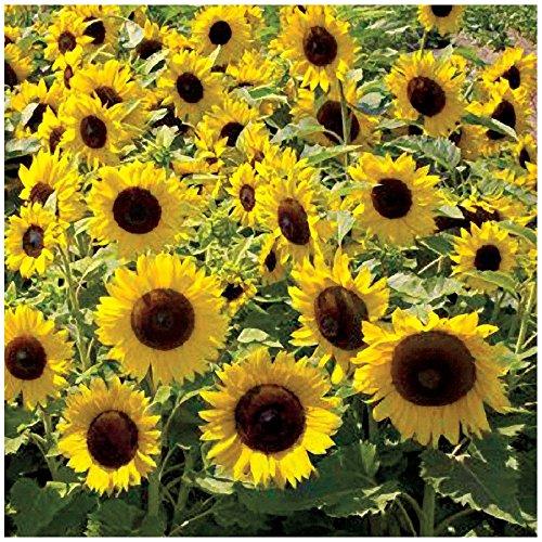 Sonnenblume Gigant 10 Graines 3 Meter Haut Helianthus Fleurs Brise-Vue