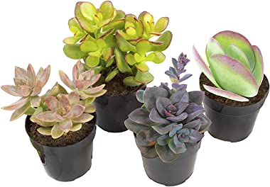"Altman Plants Assorted Live Desert Fire Succulents Collection Bright color changing fun oranges and reds, 2.5"", 4 Pack"