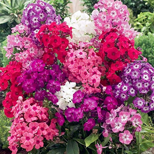 Xianjia Garten - Rarität 50 Pcs Super-Duft-Phlox-Kollektion Samen,Sommerphlox Blumensamen mischung Sommerblumen Mehrjährig Winterhart Saatgut für farbenfrohe Beete und Schnittstauden (50)