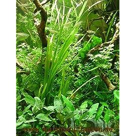 Wasserpflanzensortiment Easy Going, pflegeleicht, dekorativ, algenhemmend, robust inkl. Dünger