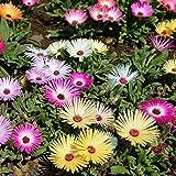 カーネーション:菊の種アスターデイジーLavenderPlant花の種子ホーム[OK]を03