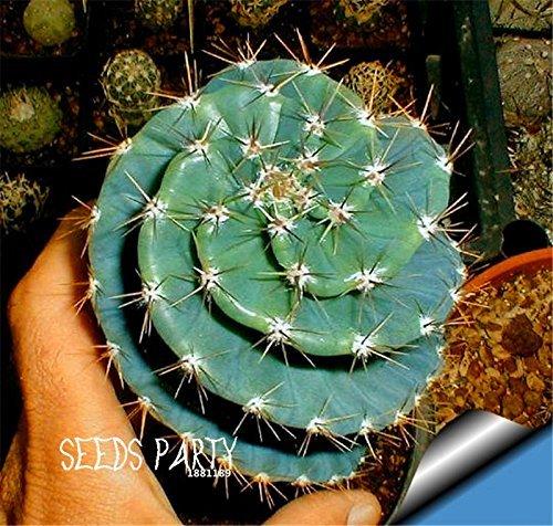 Vente! 10Seed / Sac cactus Rebutia variété floraison couleur cactus rare bureau de graines mini-plante succulente, # 2MH1I6