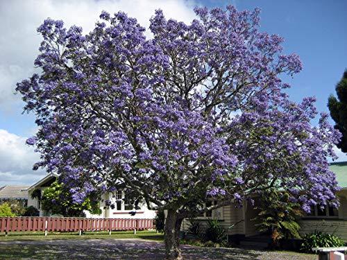 50 semillas Jacaranda (Jacaranda Mimosifolia)
