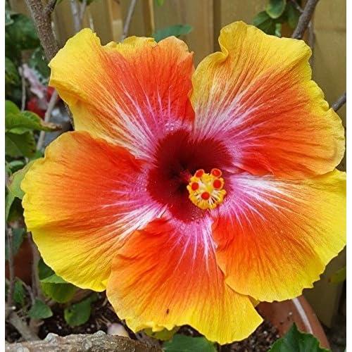 Hardy Hibiscus Plant Amazoncom