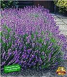 BALDUR Garten Blauer Lavendel Duftlavendel, 3 Pflanzen Lavandula angustifolia echter Lavendel