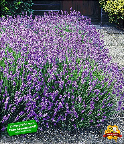 BALDUR-Garten Blauer Lavendel Duftlavendel, 3 Pflanzen Lavandula angustifolia echter Lavendel