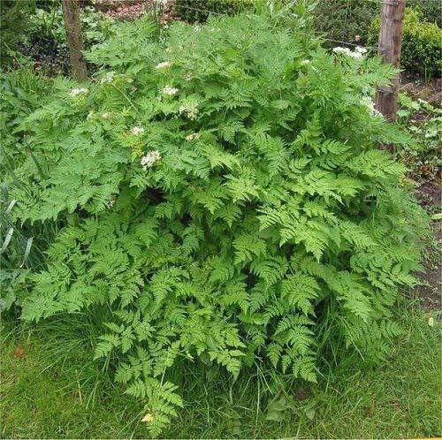 Go Garden 100+ cerfeuil Recroquevillé Graines Herb Heirloom Jardin Comestibles bio