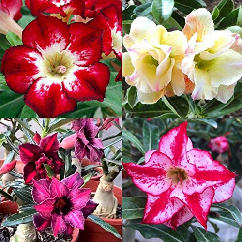 Daisy Garden 100 Pcs Seeds Mixed Adenium Obesum Desert Rose Seed Garden Flower Plant Bonsai Home Decor