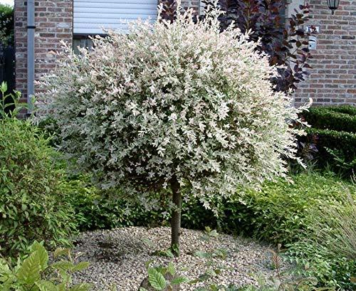 Salix Hakuro Nishiki japanische Harlekin Weide Stämmchen Stamm - viele Größen (Stammhöhe 60 cm)