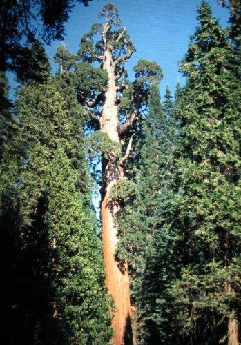 Mammutbaum - Bergmammutbaum - größter Baum der Welt - Sequoiadendron giganteum - 20 Samen -