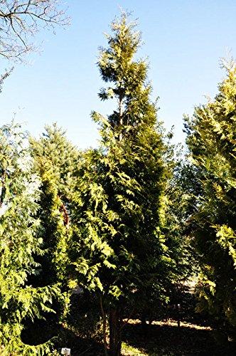 200 Stück Lebensbaum Brabant Ballenware 60-80 cm hoch - Thuja occidentalis Brabant