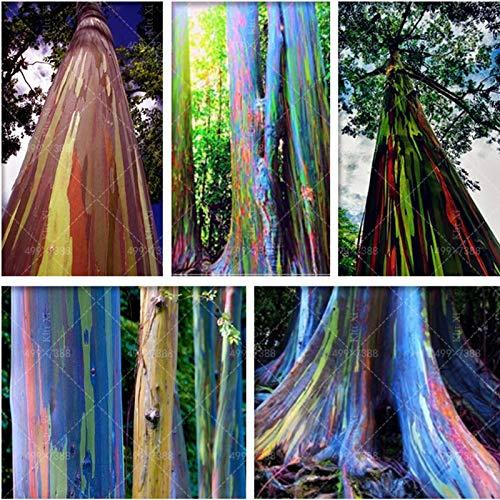 SANHOC 100 PC/Bag Regenbogen-Eukalyptus Bonsai Tropische Baum Plantas Hauptdekoration schöne Gartenpflanze Regenbogen Eukalyptusbaum: Mix