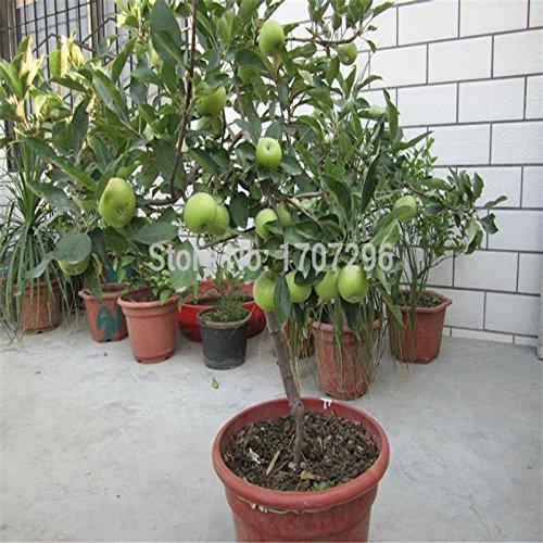 semences de pomme Bonsai Pommier Seeds - 10 pcs / lot