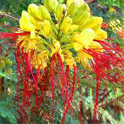 CAESALPINIA gillesii oiseau jaune de paradis 10-50 - 100-500 - 1000 graines