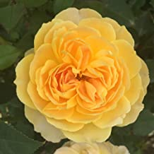 Own-Root One Gallon Molineux David Austin Rose by Heirloom Roses