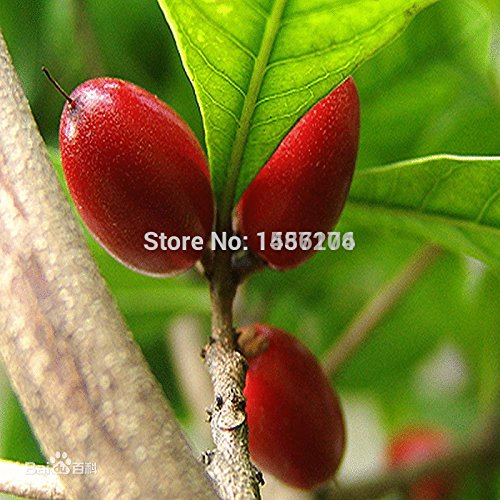 SVI Semences de Moras et Moras semis d'arbres fruitiers de Mora semences de la fruits Nutrition Healthy – 100 pcs