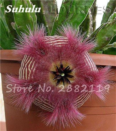 100 Pcs mixte vrai Cactus Seeds, Mini Cactus, Figuier, Graines Bonsai fleurs, vivaces herbes Plante en pot pour jardin 7