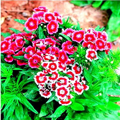 (DC R50 * Ambizu *) Dianthus chinensis Rouge Blanc Rose chinois fleur rose Graines, emballage d'origine, 50 graines