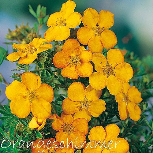 Fingerstrauch 'Orangeschimmer' – Potentilla – Dasiphora fruticose Strauch mit orange-roten bis gelb-orangenen Blüten als Bodendecker oder Hecke – von Garten Schlüter - Pflanzen in Top Qualität