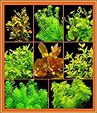 Zoomeister - Anti-Algen-Set - 40 Schnellwachsende Pflanzen + Lotus