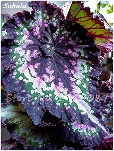 100 Pcs mixtes Graines Begonia Bonsai Graines de fleurs Balcon Cour coleus Graines Plantes Begonia coloré pour jardin en pot 24